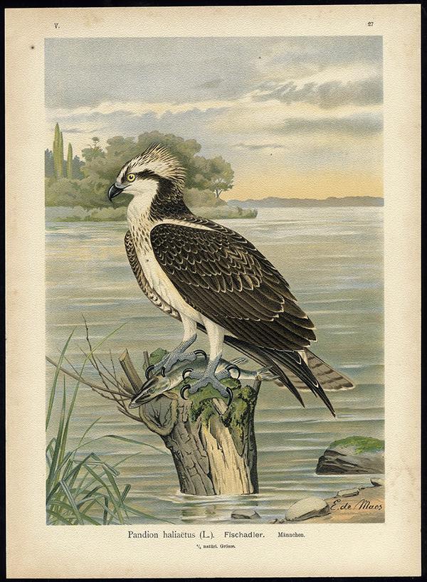 Regresa a Urdaibai una de las águilas pescadoras reintroducidas en 2013