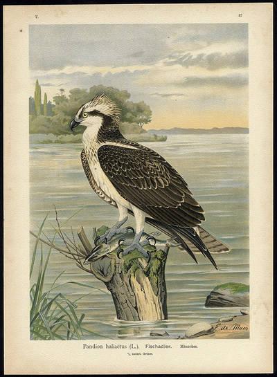 """Lámina de águila pescadora de E. de Maes, extraído de la obra 'Naturgeschichte der Vogel Mitteleuropas"""", de Johann Friedrich Naumann."""