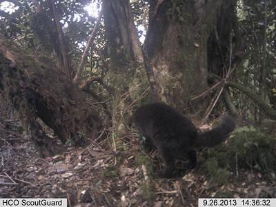 Foto-captura de un ejemplar melánico de güina (Leopardus guigna), pequeño felino amenazado a escala mundial, en la Reserva de Huinay (foto: autores).
