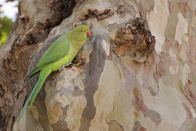 A la derecha, ejemplar de Cotorra de Kramer posado en el tronco de un árbol (foto: Carlos Molina).