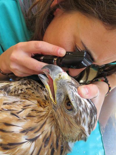 Una veterinaria lleva a cabo una exploración oftalmológica a un águila perdicera en un hospital de fauna salvaje (foto: GREFA).