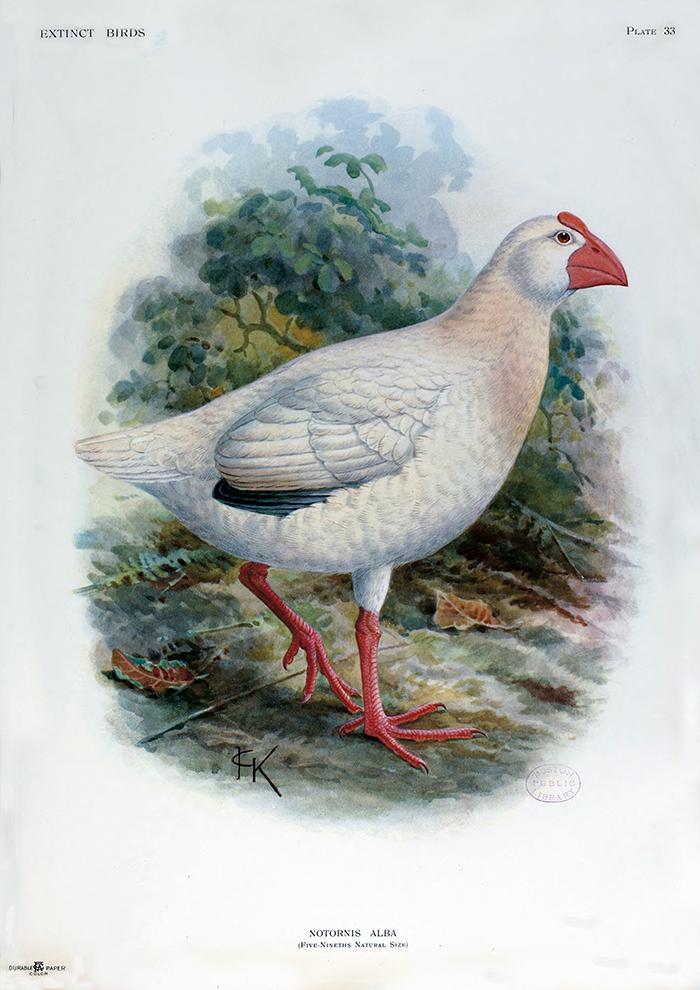 La paloma de Liverpool y el calamón blanco: dos misteriosas aves extinguidas