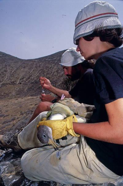 Investigadores toman muestras a un ejemplar de pardela cenicienta del Átlántico (Calonectris borealis) en Canarias (foto: Jacob González-Solís).