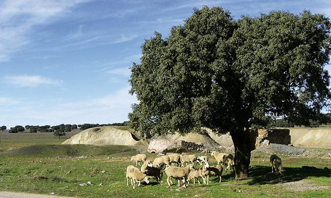 Rebaño de ovejas alimentándose junto a una escombrera abandonada en el Valle de Alcudia (foto: Jaime Rodríguez).
