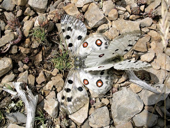 Seguimiento de mariposas en un monte protegido de Teruel