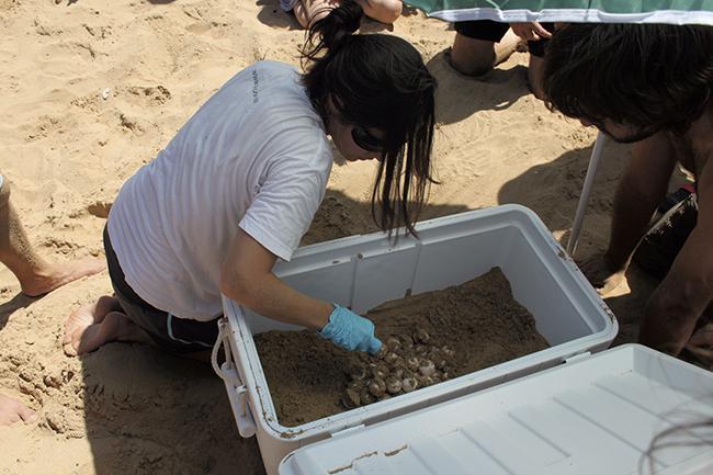 Una tortuga boba desova en una playa de Torrevieja