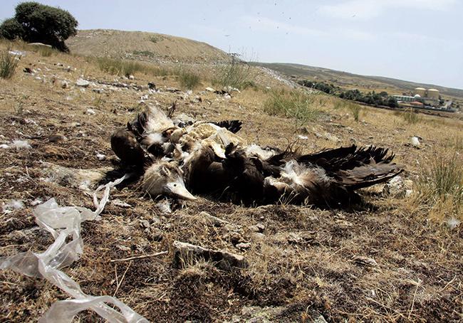 El Programa Antídoto denuncia la muerte de seis buitres negros en el vertedero de Ávila Norte