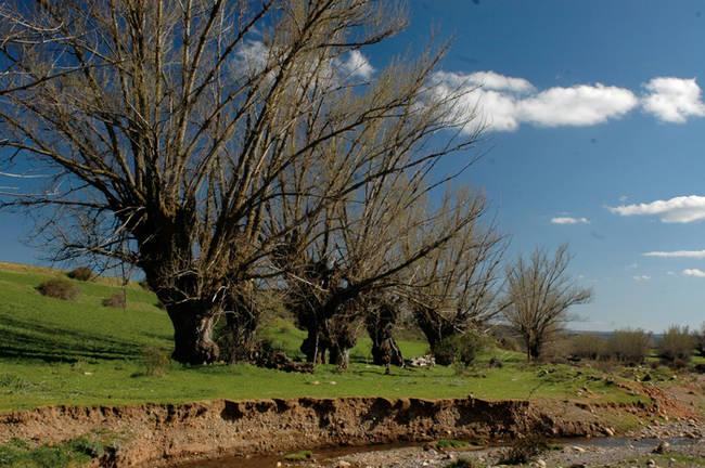 Chopos cabeceros en Olalla (Teruel). Foto: Chabier de Jaime.