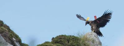 Quebrantina, ejemplar liberado en Picos de Europa el pasado 1 de agosto, ejercita sus alas sobre una roca (foto: Javier Gil / FCQ).