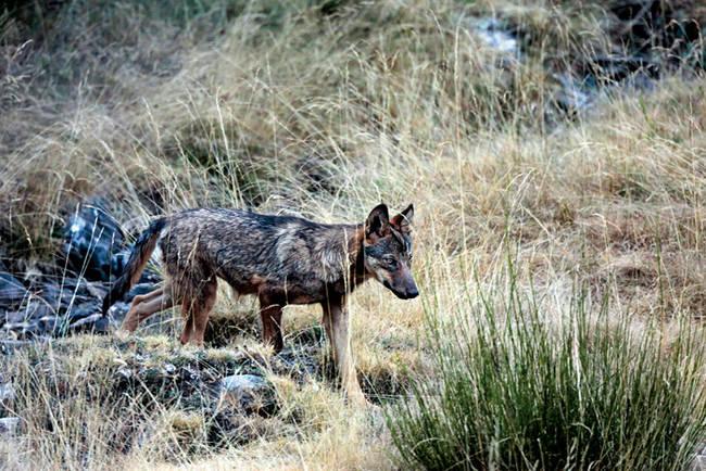 Lobo perteneciente a la población que vive en la Reserva de Caza de Riaño (León). Foto: Andoni Canela.