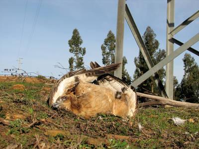 Joven de águila perdicera electrocutada y hallada bajo un tendido eléctrico en la comarca del Andévalo (Huelva). Foto: Justo Martín e Íñigo Fajardo.