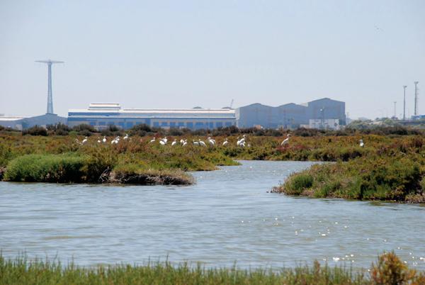 Colonia de espátulas de La Covacha, en el Parque Natural de la Bahía de Cádiz (foto: Salarte).