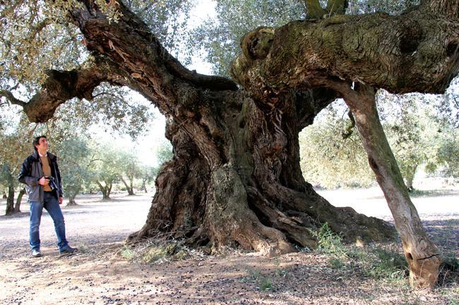 Apoyo masivo contra quienes expolian olivos centenarios