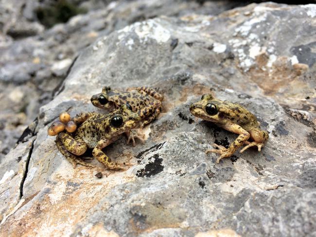 Un equipo científico logra erradicar en el ferreret en Mallorca el hongo letal que amenaza a los anfibios