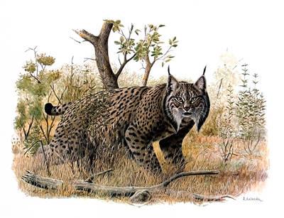Lince ibérico al acecho en un bosque mediterráneo (autor: Josechu Lalanda).
