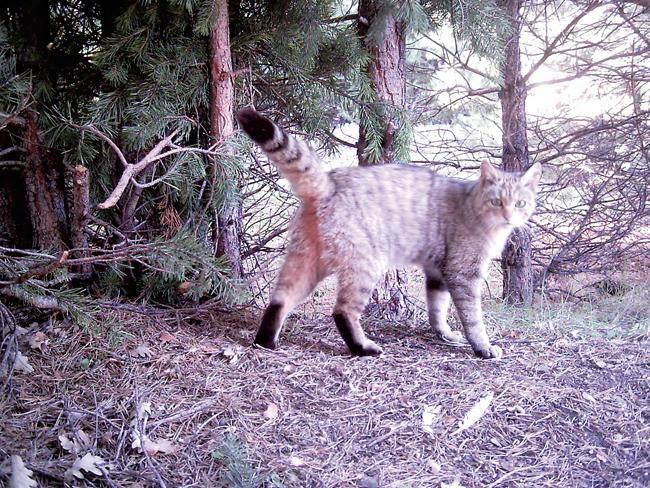 No se detecta hibridación en el gato montés de Sierra Nevada