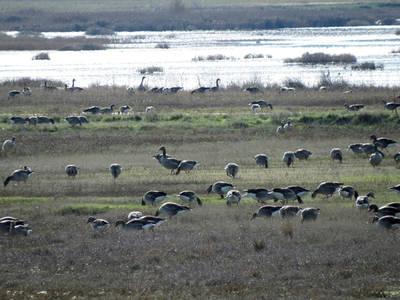 Grupo de ánsares comunes invernantes. Estas aves migradoras han sido objeto de cacerías en el entorno de uno de sus principales refugios ibéricos, las lagunas palentinas de La Nava y Boada (foto: Ángel Hernández).