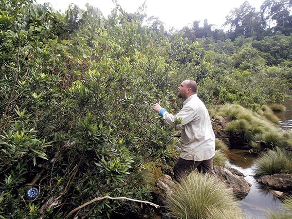 Un investigador del Real Jardín Botánico recolecta muestras de Grossera angustifolia, una nueva especie descrita en Guinea Ecuatorial (foto: RJB).