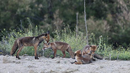 El zorro en la intimidad