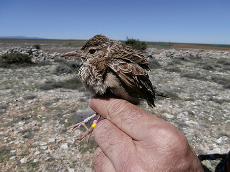 Arriba, alondra ricotí capturada para anillamiento científico y seguimiento de sus poblaciones en los páramos del sur de Soria (foto: Rafael Serra).