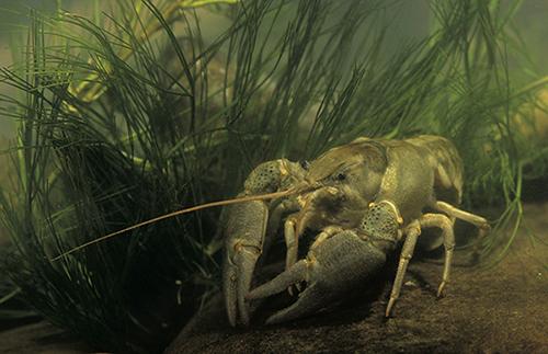 Cangrejo italiano (Austropotamobius italicus), la especie que se venía considerando autóctona de nuestros ríos (foto: José Luis Gómez de Francisco).
