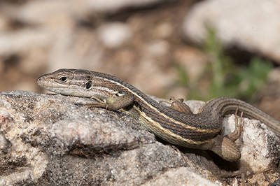 La lagartija colilarga es una especie que se ha visto muy afectada por los incendios en la sierra de Mijas (Málaga). Foto: José R, Moreno.