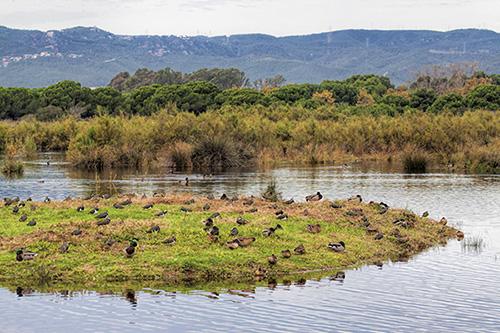 Grupo mixto de ánades reales y avefrías en Remolar-Filipines, una de las zonas legalmente protegidas del delta del Llobregat (foto: Miquel Pons / Wikicommons).