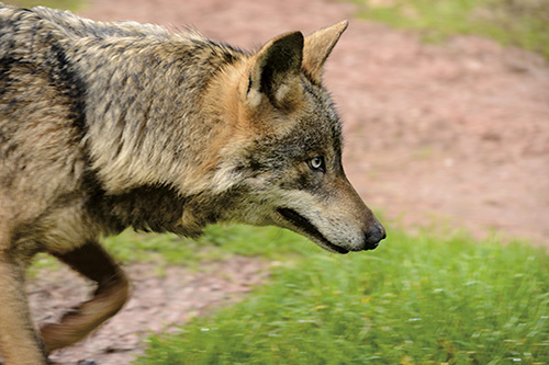 Nuevo revés judicial a la caza del lobo en Castilla y León