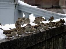 Grupo de gorriones en una barandilla en invierno (foto: Andrey / Wikicommons).
