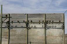 Grupo de milanos reales en un jaul�n del centro de cr�a de la especie de La Alfranca (Zaragoza). Foto: Gobierno de Arag�n.
