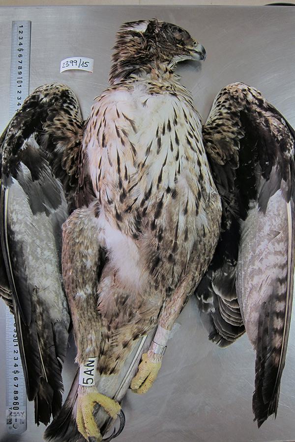 Un águila de Bonelli soltada en Mallorca muere electrocutada