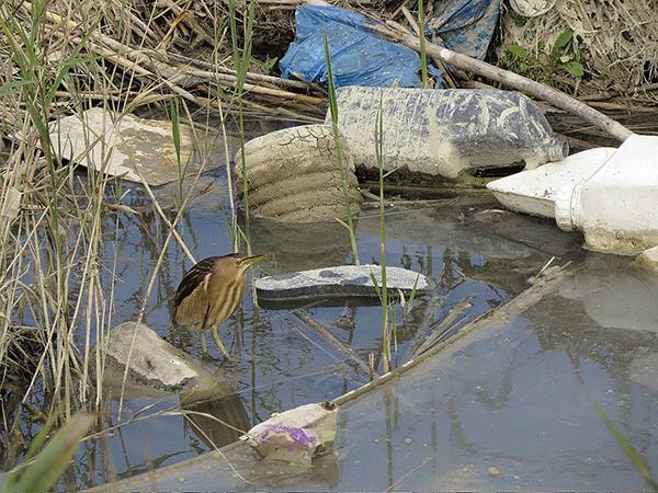Avetorillo en el cauce viejo del río Segura (Guardamar del Segura, Alicante), rodeado de basura (foto: Sergio Arroyo).