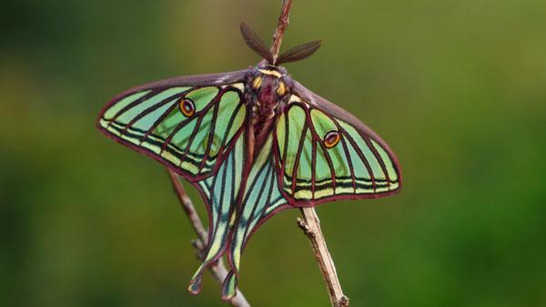 La isabelina se lleva el título de Mariposa del Año 2016