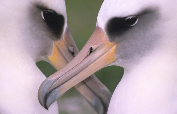 Pareja de albatros de Laysan en las islas Midway (Pacífico norte). Foto: Jacob González-Solís.