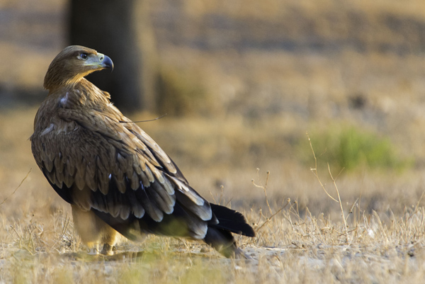 Águila imperial ibérica: recuperando espacio más allá de las fronteras