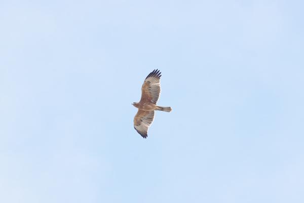 El macho de águila perdicera Zahara luce su plumaje juvenil a su paso por el estrecho de Gibraltar (foto: Santi Villa / Spainbirds Nature Tours).