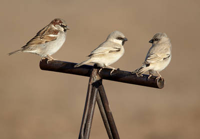 Gorrión común (izquierda) y gorriones saharianos sobre el pomo de una silla de dromedario (foto: Ignacio Yúfera).