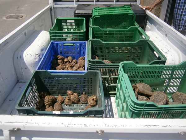 Tortugas moras cedidas por particulares de Almería a la Junta de Andalucía (foto: Eva Graciá).