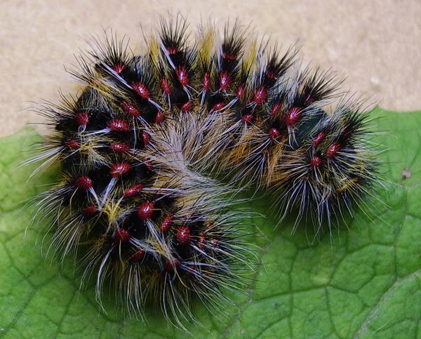 Oruga de la polilla verrugosa andaluza (Chondrostega escobesae). El nombre vulgar de la especie alude a sus conspicuas vesículas rojas (foto: Yeray Monasterio).