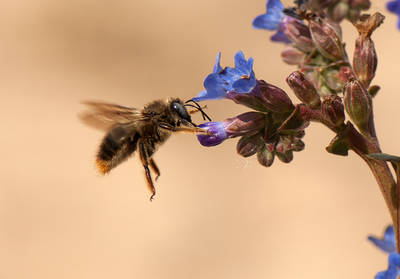 Xylocopa cantabrita es una especie de abeja de gran tamaño. En la fotografía, hecha en Doñana, está robando el néctar de una flor, pero es una buena polinizadora de muchas plantas (foto: Óscar Aguado).