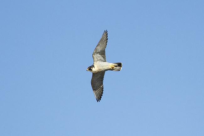 Ejemplar adulto de halcón peregrino en vuelo (foto: Joseba del Villar).