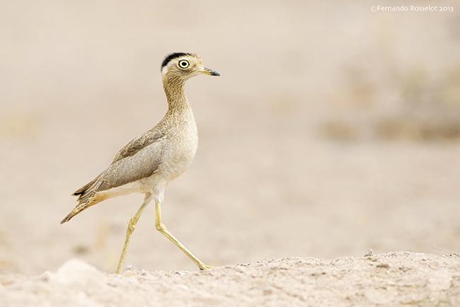 Los viajes ornitológicos ofrecen datos sobre el delicado estado del alcaraván peruano