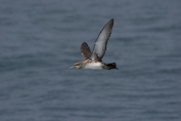 La pardela balear sigue en serio declive, dice un nuevo estudio