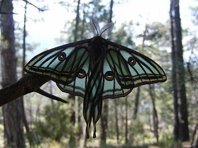 Macho de graellsia o mariposa isabelina en la rama de un pino (foto: Yeray Monasterio y Ruth Escob�s / Asociaci�n Zerynthia).