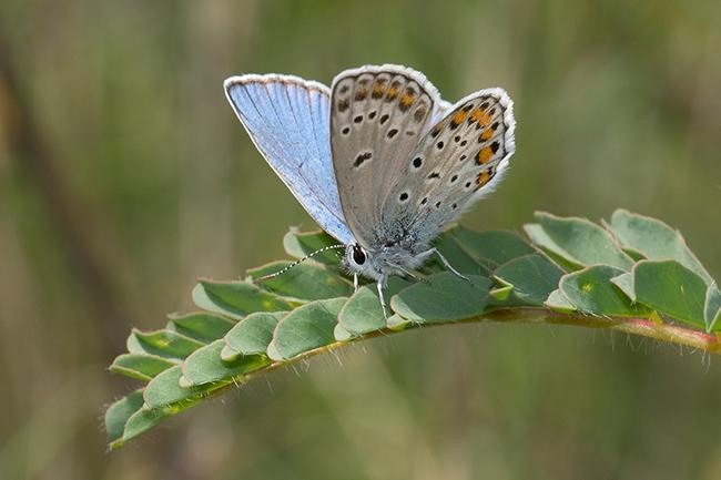 Una mariposa y dos plantas son testigos de los cambios de usos de suelo en Andalucía