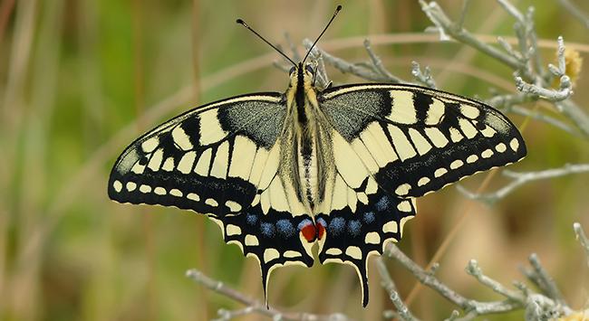 'Oasis de mariposas', compromiso popular para conservar los lepidópteros