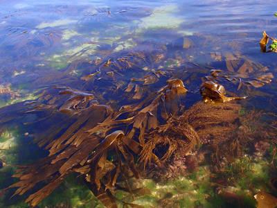 Bosque submarino de algas en las costas atl�nticas espa�olas. Compuesto por varias laminarias, ofrece refugio a otras especies de flora y fauna (foto: C�sar Peteiro).