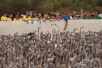 Pollos de flamenco en el corral de la laguna de Fuente de Piedra, antes de ser anillados (foto: Conchi Mateos).