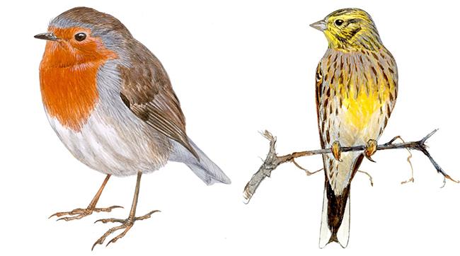 El petirrojo (a la izquierda) es una de las especies que se vería favorecida por el cambio climático en España. En cambio, el escribano cerillo (a la derecha), se vería perjudicado (dibujo: Juan Varela).
