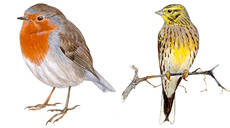 El petirrojo (a la izquierda) es una de las especies que se ver�a favorecida por el cambio clim�tico en Espa�a. En cambio, el escribano cerillo (a la derecha), se ver�a perjudicado (dibujo: Juan Varela).